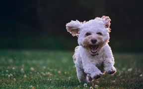happy running puppy