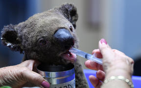 A dehydrated and injured koala receives treatment at the Port Macquarie Koala Hospital on 2 November, 2019, after its rescue from a bushfire.