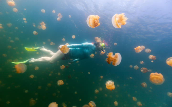 Woman snorkeling with endemic golden jellyfish in lake at Palau.