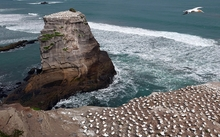 Surfers and seabirds at the gannet colony, Muriwai