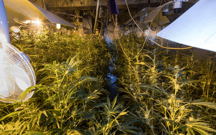 Police found 1100 cannabis plants, ranging from seedlings to 325 mature plants ready for harvest in Feilding.