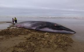 Project Jonah general manager Darren Grover said the whale was about 10 metres long and several tonnes.