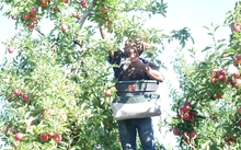A Solomon Islander picking apples in a Hawke's Bay orchard as part of New Zealand's Recognised Seasonal Employer scheme.