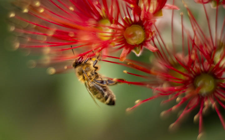 A bee, landing on a pohutukawa bloom.