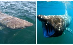 Basking Shark from above and underwater