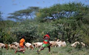 Invading locusts spring into flight from ground vegetation as young girls in traditional Samburu-wear run past to their cattle at Larisoro village near Archers Post, on January 21, 2020. -