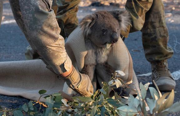 LCPL Schroder and LT Pinheiro help rescue a koala in Findlers Chase National Park.NZ Army and ADF personnel help rescue misplaced Koala at Kangaroo Island during the Australian Bushfires.