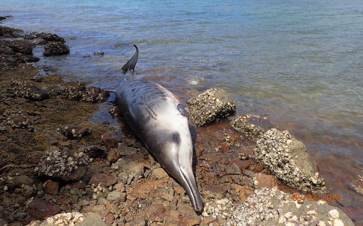 One of the Gray's beaked whales that beached.