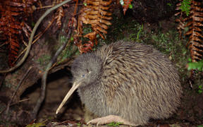Kiwis are one of the species that could be at risk.