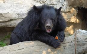 Asiatic black bear in zoo thailand