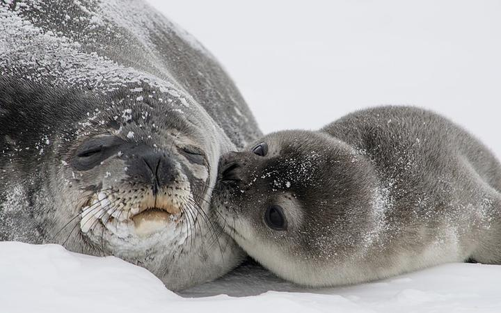A Weddell Seal pup and its mother.