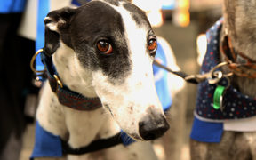 Greyhounds as Pets fundraising for the organisation.