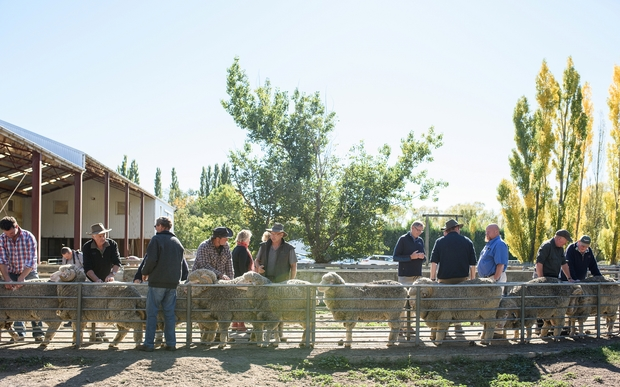 Local merino farmers and representatives of Norway's Devold company inspect animals on the Armidale stud near Ranfurly.