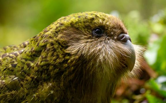Stella-2-B is a juvenile from the bumper 2019 kakapo breeding season.