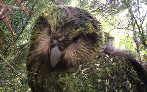 Tutū is one of 73 chicks that successfully fledged during the 2019 kākāpō breeding season. Her name means to stand out or be prominent.