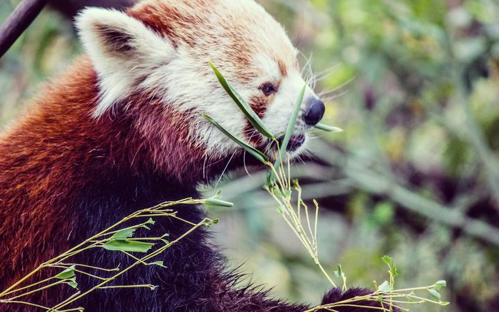 Genetic study reveals there may be two different species of red panda