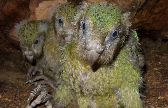 Before her untimely death from the fungal disease aspergillosis, Hoki was foster mum to three kākāpō chicks. From left to right, Huhana-2-A-19, Pearl-2-B-19 and Bella-1-A-19.