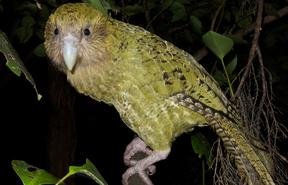 Adult female kākāpō Hakatere.