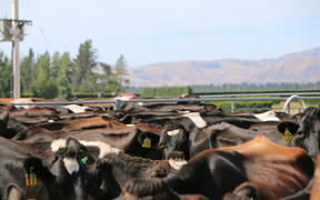 Cows waiting for milking in Rotherham, North Canterbury.