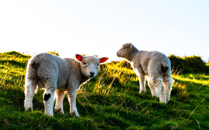 Lambs enjoying a burst of spring sunshine.