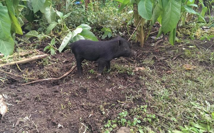 Pig in Papua New Guinea.
