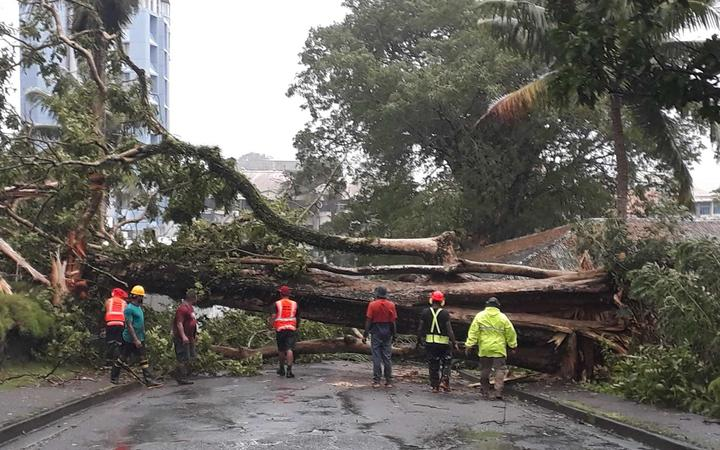 Cyclone Harold fells a giant tree