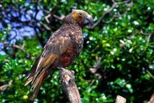 Adult North Island kaka. Image Albert Aanensen