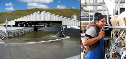 Mere milking on the 80 bale rotary - Waituhi Kuratau Trust Sheep Milking Rotary shed near Turangi.