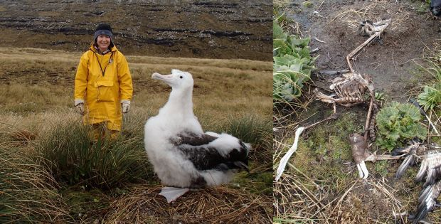 Alison ballance with a wandering albatross chick, and a chick that has died before fledging