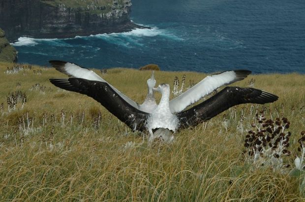Courting Gibson s wandering albatrosses on Adams Island
