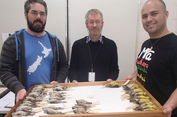 Michael Anderson, Luis Ortiz-Catedral and Brian Gill with museum  specimens from the new bird family Mohouidae