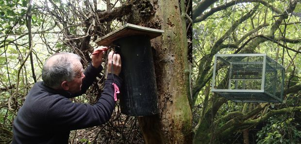 Richard Gray checking a kakariki in a nest box, and kakriki feeder hung up in a tree