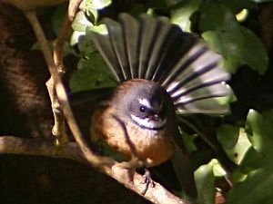 Fantail by Tony Wills