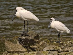Royal Spoonbill by Sid Modsell CC