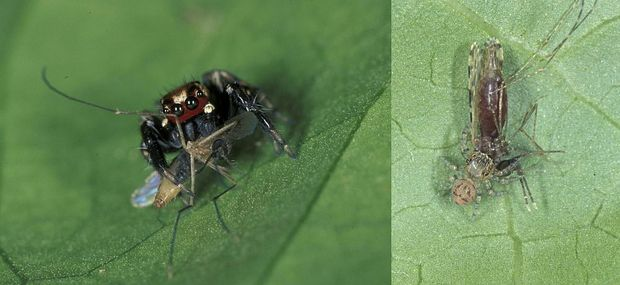 'Mosquito terminator' jumping spider with a mosquito that it has just caught - ithe spider has 8 eyes in total