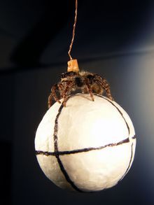 A jumping spider having its vision tested hangs suspended as it hold a small polystyrene ball
