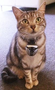 Juniper the cat wwearing a small camera on her collar
