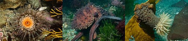 Invertebrates such as octopus also benefit from marine reserves