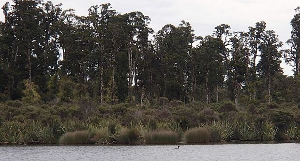 Crested grebe in front of kahikatea forest on Lake Moeraki