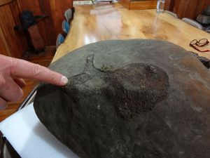 A large concretion found in the Maungataniwha forest, including a fossil bone