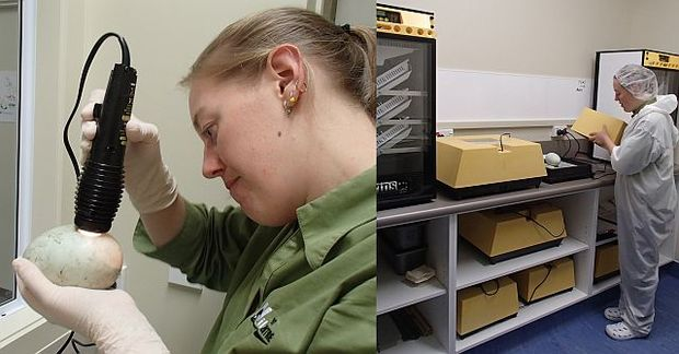 Kim Bryan-Walker checks the development of a rowi egg (left) before it is moved into an incubator (right)