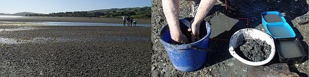 Counting cockles in Pauatahanui Inlet