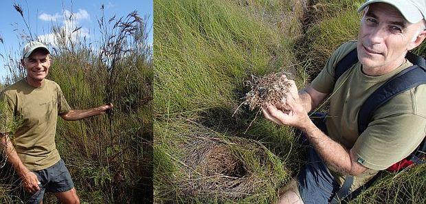 David Campbell with tall bamboo rush Sporodanthus and showing the mass of roots undernath a thick litter of jointed wire rush