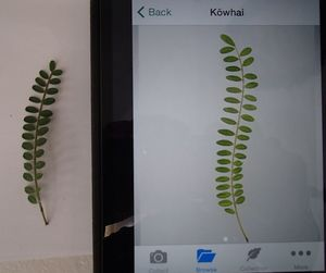 Flora Finder app finding a match for a photo of a kowhai leaf