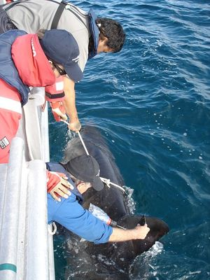 Attaching a SPOT tag to the dorsal fin of a white shark image C Duffy