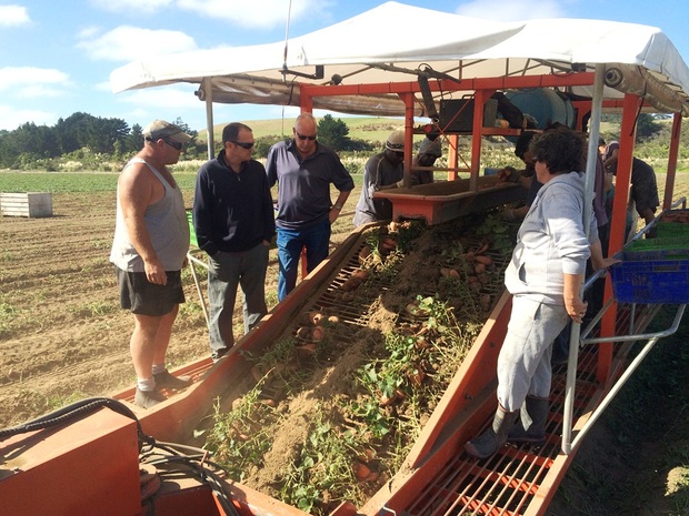 Harvesting kumara for Kaipara Kumara