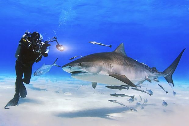 David Doubilet with tiger shark CR Jennifer Hayes