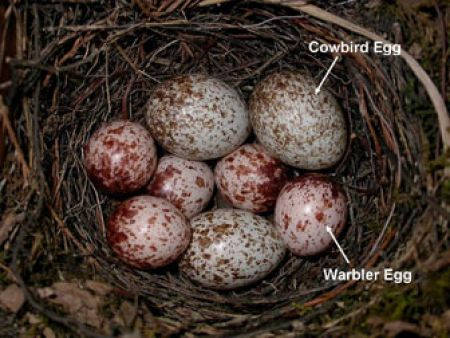 Warbler nest parasitized with cowbird eggs