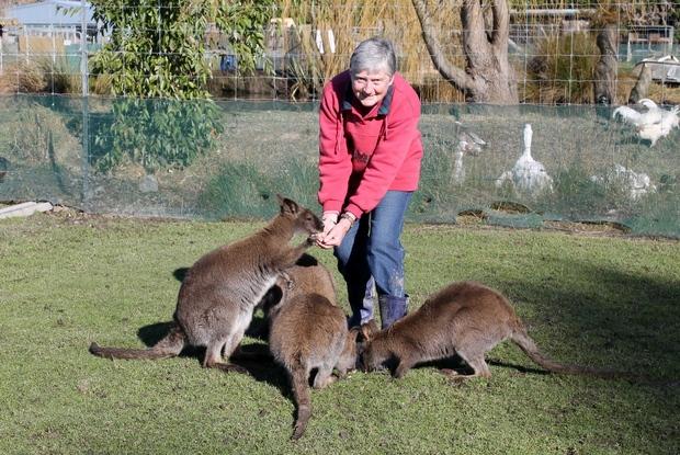 Gwen feeding wallabies