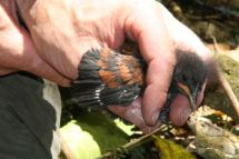 North Island saddleback chick being banded at Karori Sanctuary